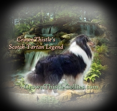 Rough Collie dog sire