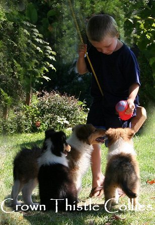 Animal Planet filmed Crown Thistle collie pups at Quaker Farm.  This is our grandson playing with 5th generation Crown Thistle Collie puppies while being filmed by Animal Planet.